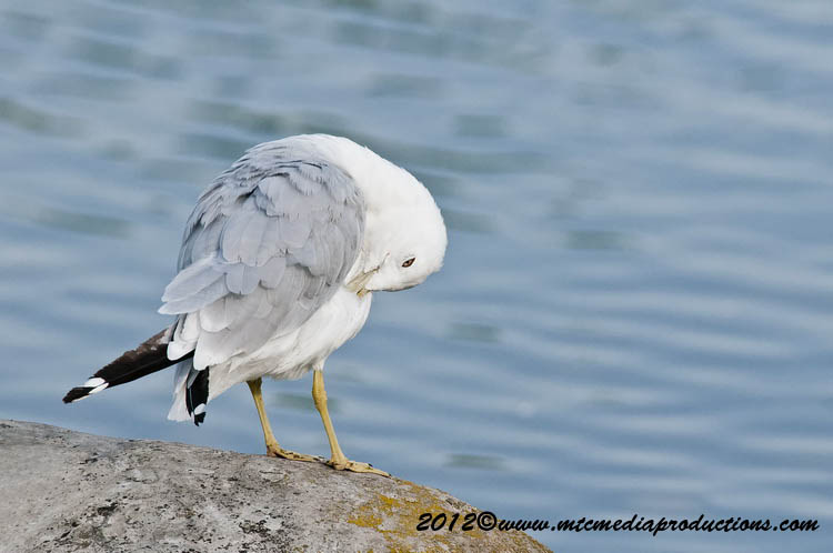 Ringbilled Gull Picture-208