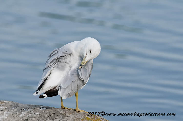 Ringbilled Gull Picture-209