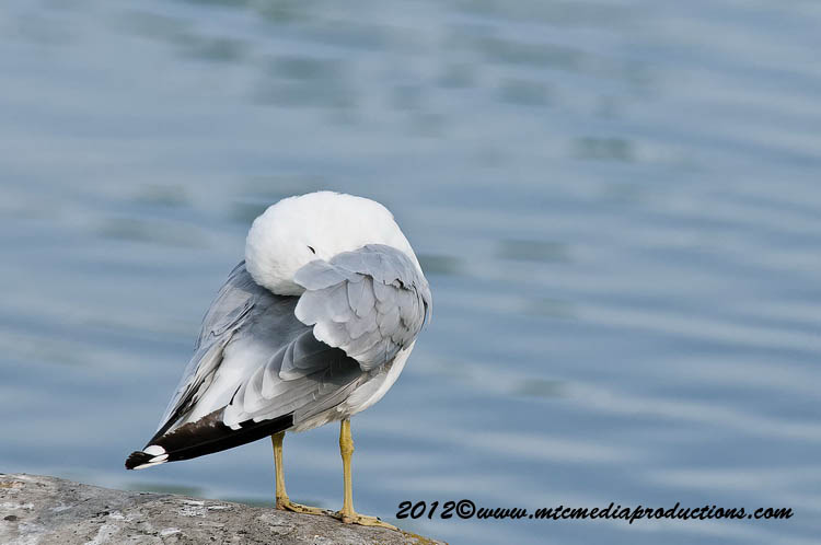 Ringbilled Gull Picture-210