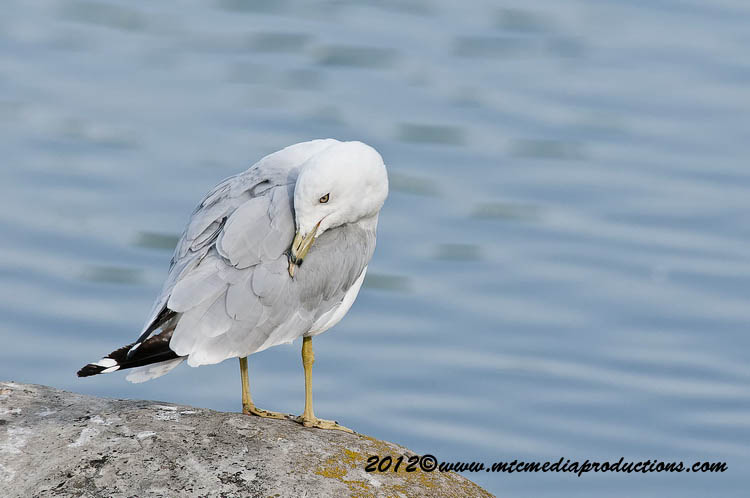 Ringbilled Gull Picture-211