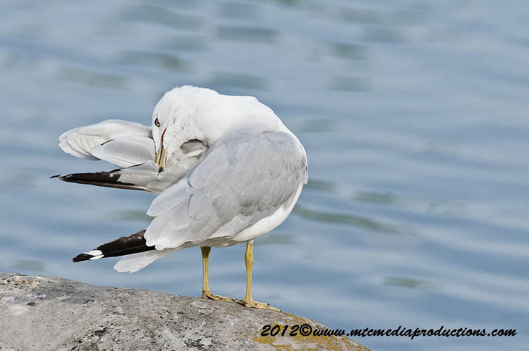 Ringbilled Gull Picture-212
