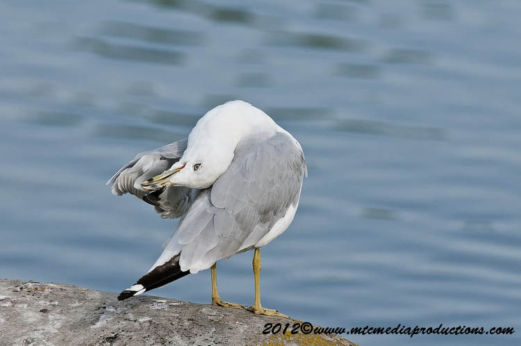 Ringbilled Gull Picture-213