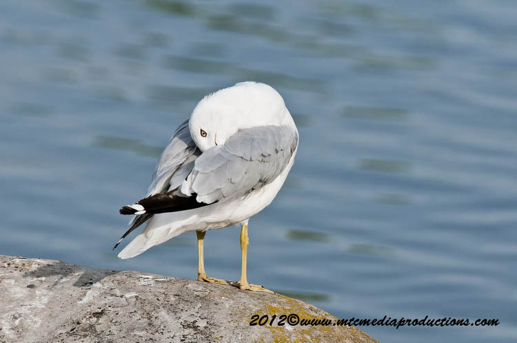Ringbilled Gull Picture-214