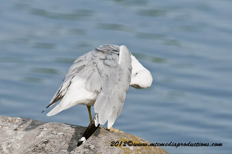 Ringbilled Gull Picture-215