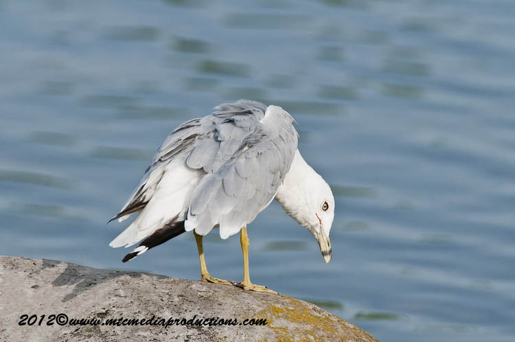 Ringbilled Gull Picture-216