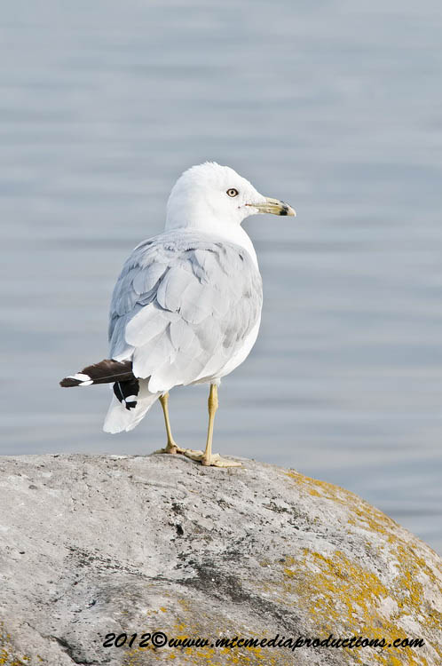Ringbilled Gull Picture-217