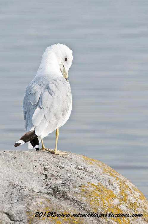 Ringbilled Gull Picture-218