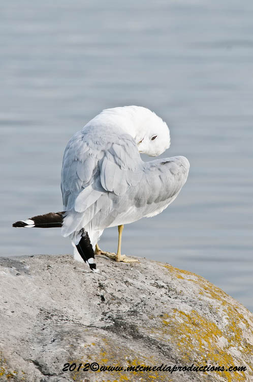 Ringbilled Gull Picture-219