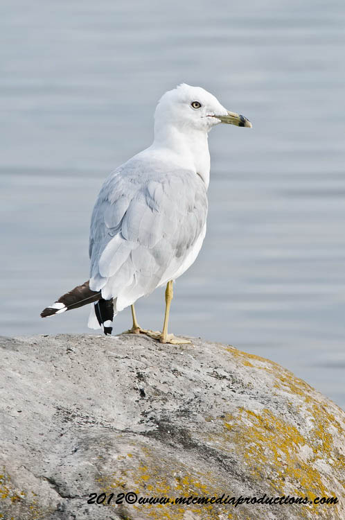 Ringbilled Gull Picture-220