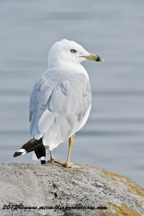 Ringbilled Gull Picture-221