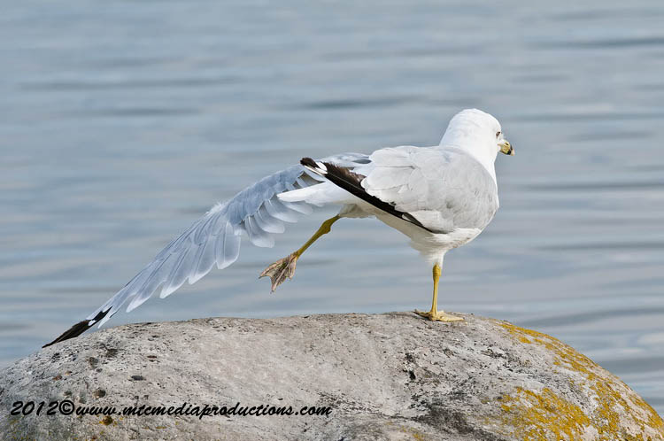 Ringbilled Gull Picture-222