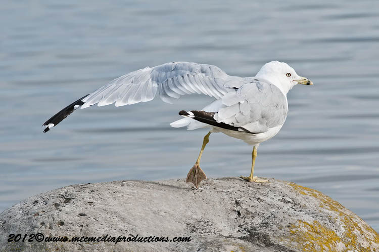 Ringbilled Gull Picture-223