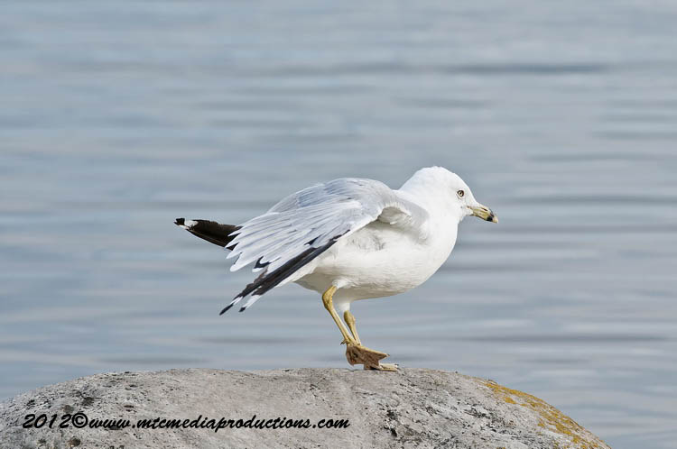 Ringbilled Gull Picture-224