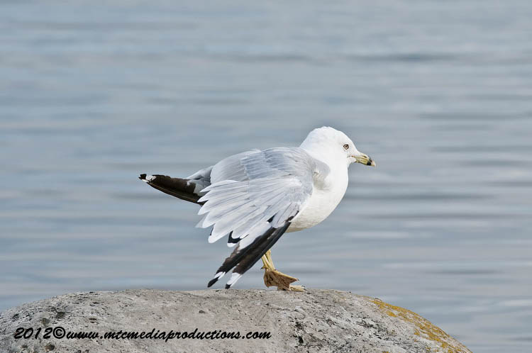 Ringbilled Gull Picture-225