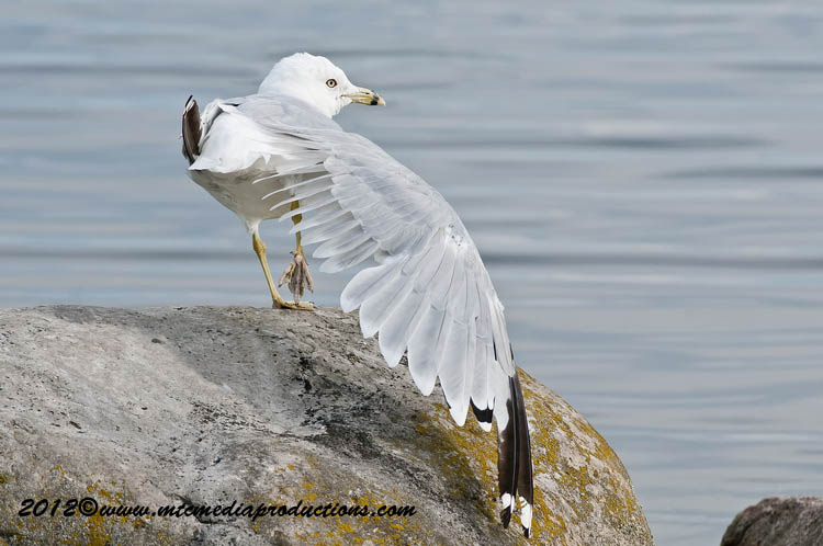 Ringbilled Gull Picture-226