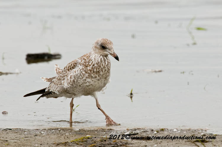 Ringbilled Gull Picture-227