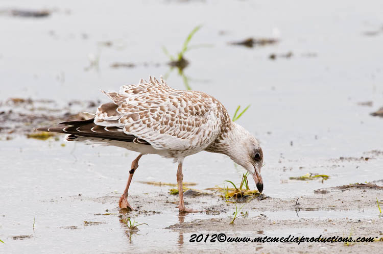 Ringbilled Gull Picture-228