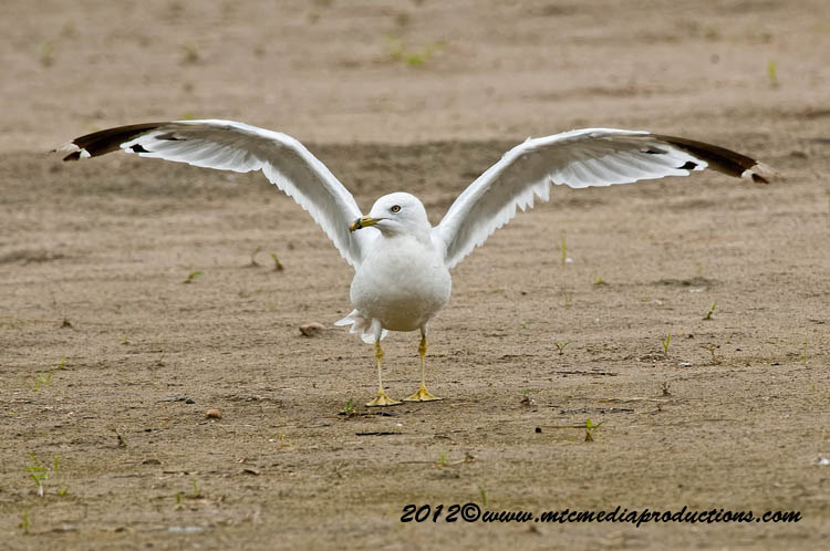Ringbilled Gull Picture-230