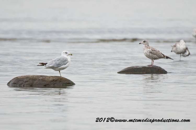 Ringbilled Gull Picture-231