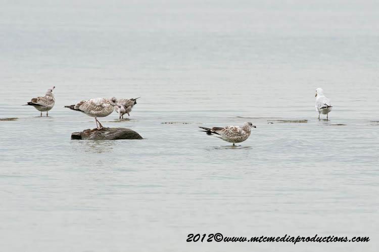 Ringbilled Gull Picture-233