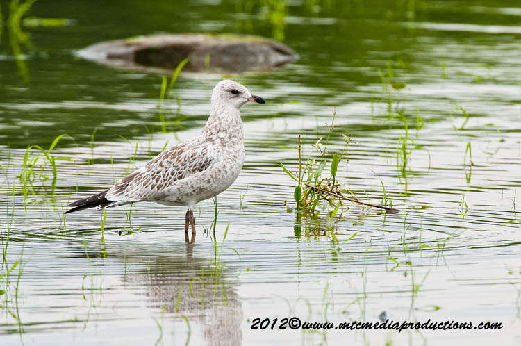 Ringbilled Gull Picture-238