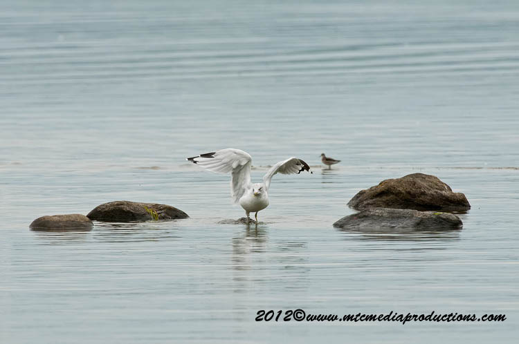 Ringbilled Gull Picture-241