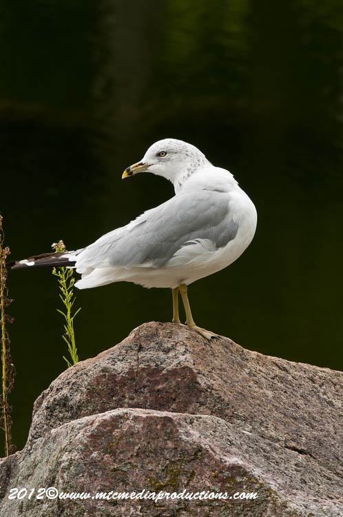 Ringbilled Gull Picture-242