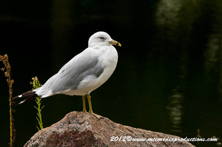 Ringbilled Gull Picture-243