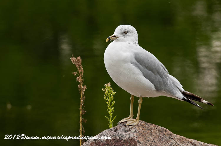 Ringbilled Gull Picture-245