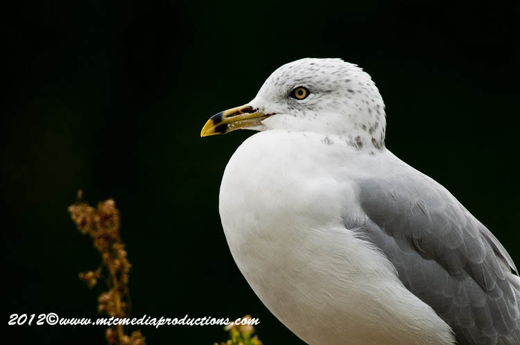 Ringbilled Gull Picture-246