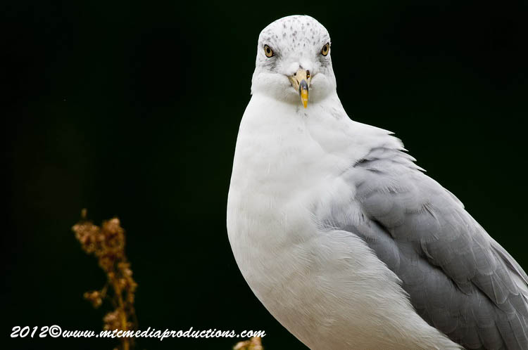 Ringbilled Gull Picture-247