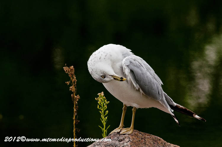 Ringbilled Gull Picture-248