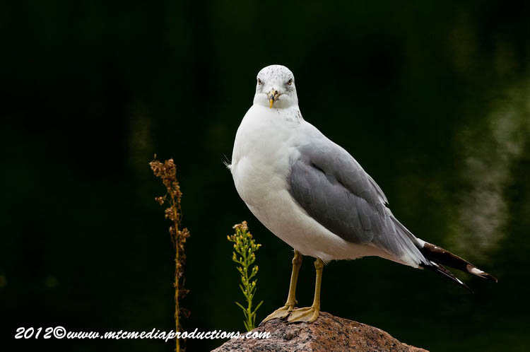 Ringbilled Gull Picture-249