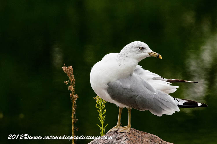 Ringbilled Gull Picture-250
