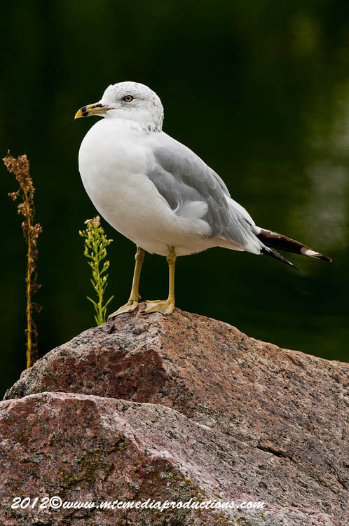 Ringbilled Gull Picture-252
