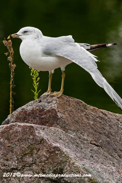 Ringbilled Gull Picture-253
