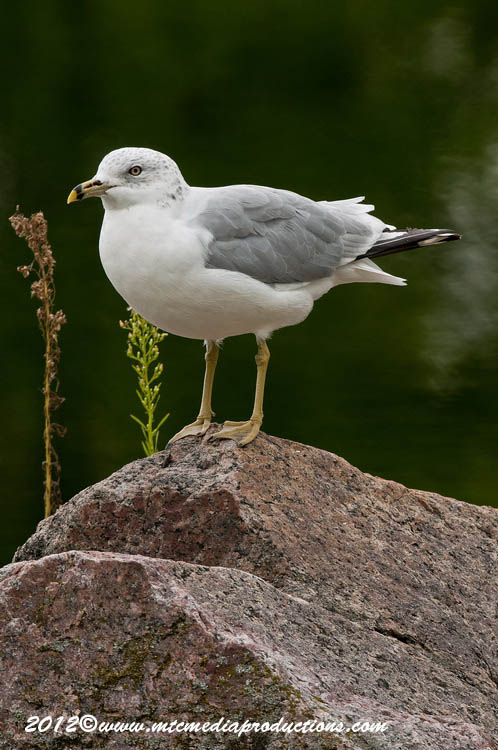 Ringbilled Gull Picture-254