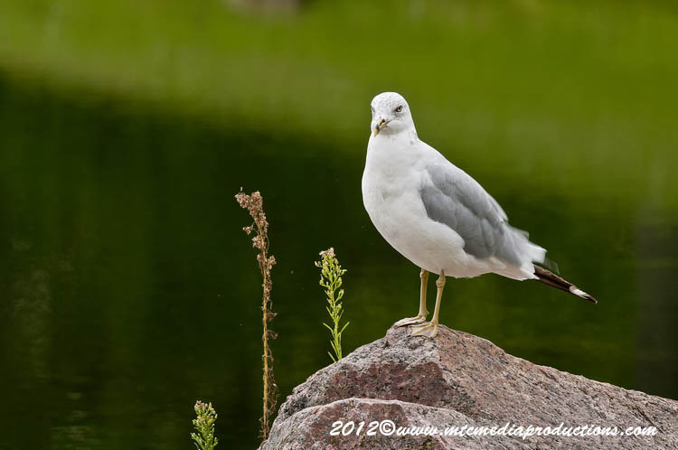 Ringbilled Gull Picture-255