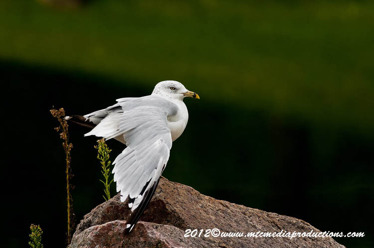 Ringbilled Gull Picture-256