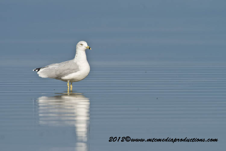 Ringbilled Gull Picture-257