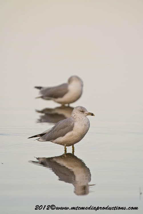 Ringbilled Gull Picture-258