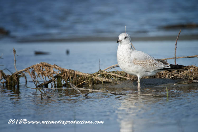Ringbilled Gull Picture-260