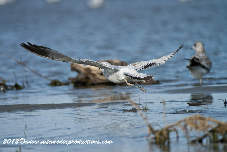 Ringbilled Gull Picture-261