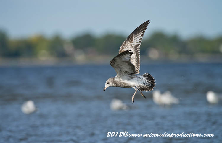 Ringbilled Gull Picture-262