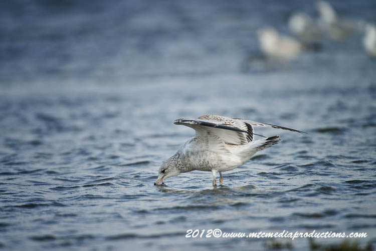 Ringbilled Gull Picture-263