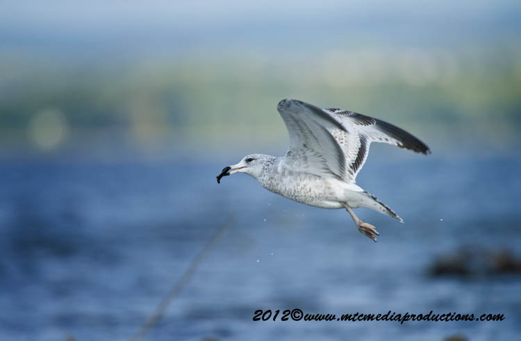 Ringbilled Gull Picture-264