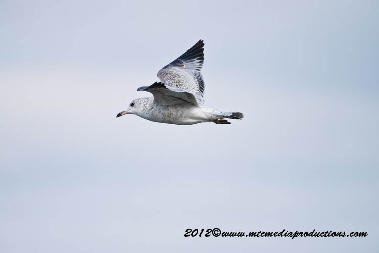 Ringbilled Gull Picture-265