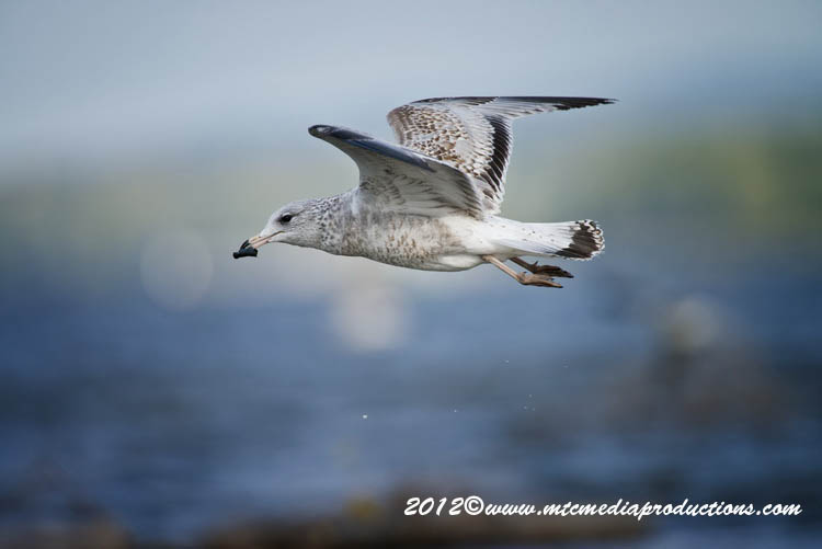 Ringbilled Gull Picture-267