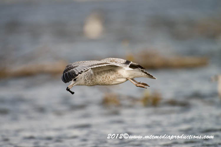 Ringbilled Gull Picture-268