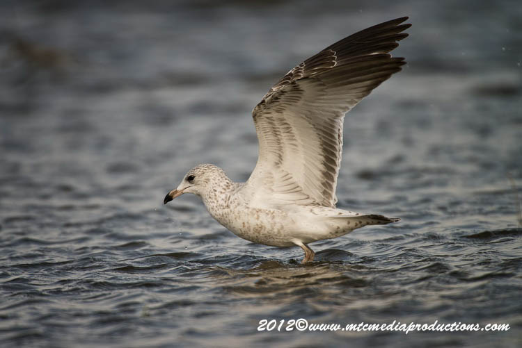 Ringbilled Gull Picture-270